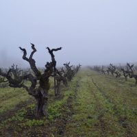 Fog-in-Rossi-Vyd-where-Orion-is-grown
