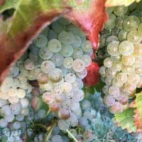 Tora-Bay-Sauv-Blanc-2016-grapes