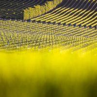 grape-field